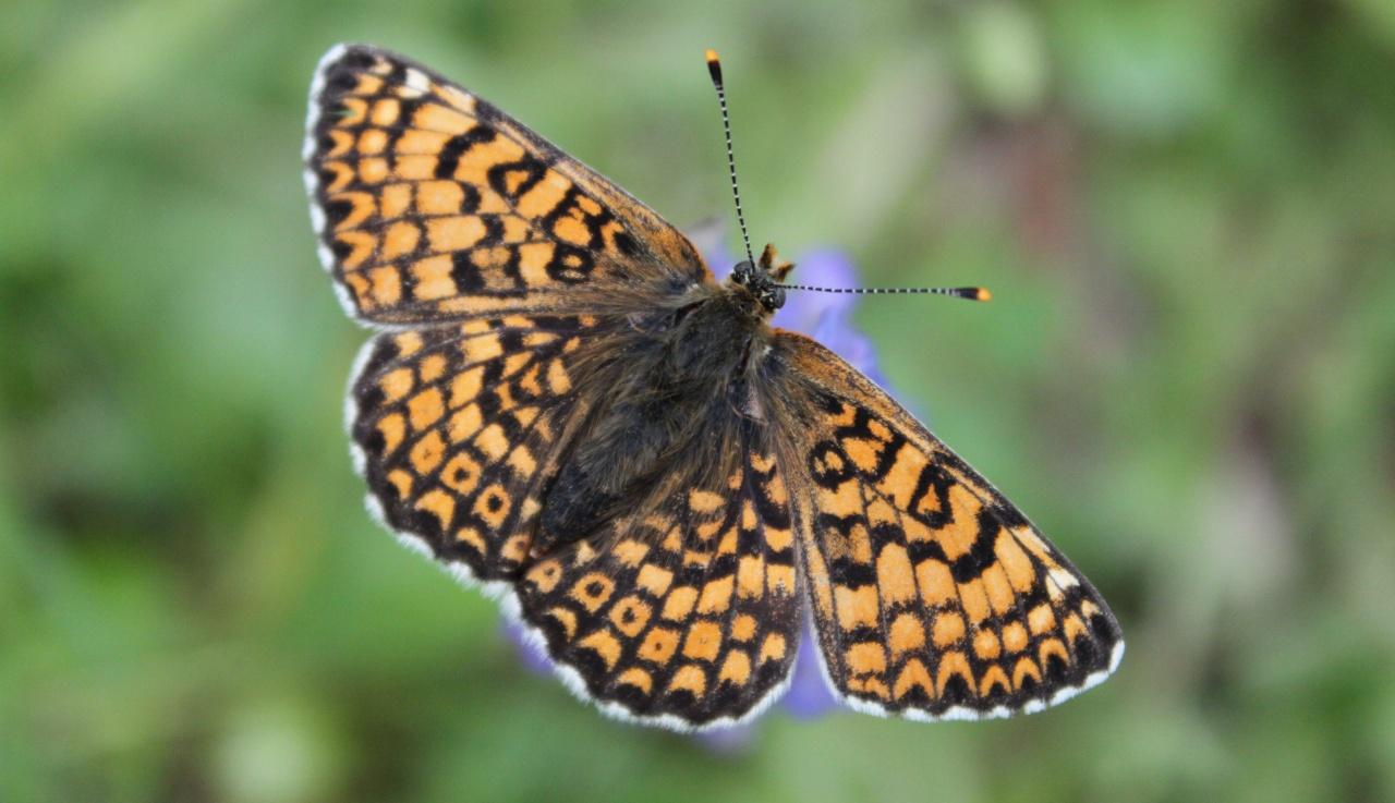 Mellicta athalia (Le Damier Athalie)9
